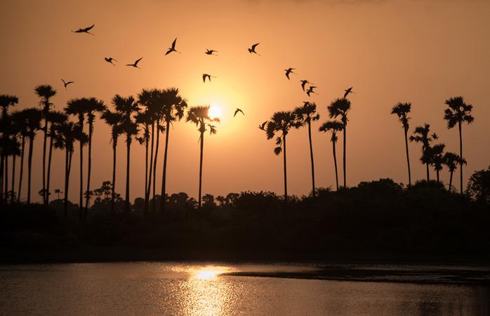 A silhouette of palmyrah trees