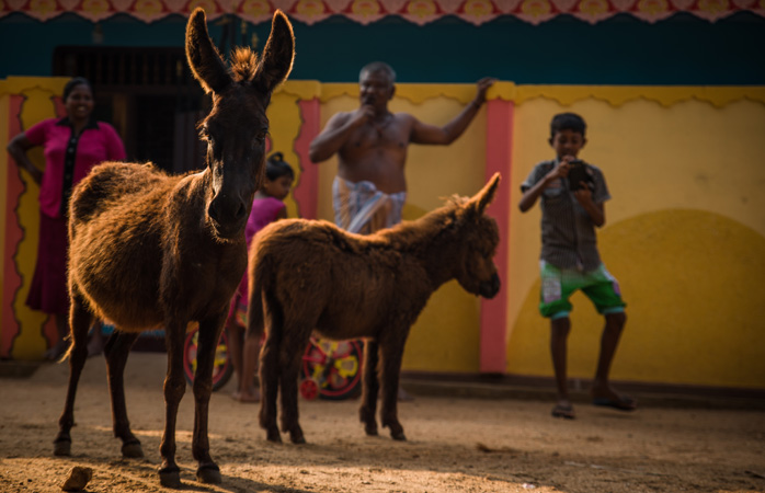 Donkeys and humans live side by side on Mannar Island