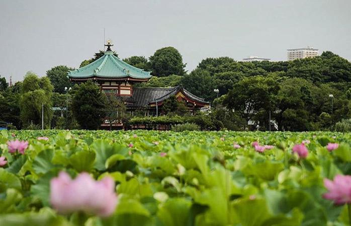 The Shinobazu Lotus Pond in Ueno Park