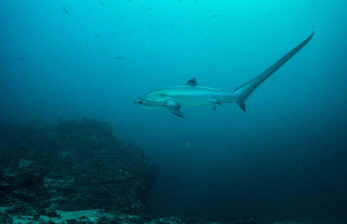 Always wanted to see a thresher shark? At Malapascua you'll get to see them in all their glory